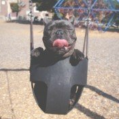 dog in a swing