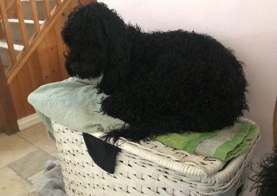 Cockerpoo on laundry basket